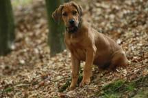 Akani als Welpe im Wald in NRW