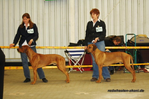 Rhodesian Ridgeback Red Wheaten Akani und Bruder Asab in Oldenburg