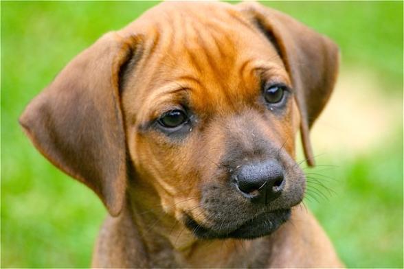 Rhodesian Ridgeback Welpe (Puppy) Jalia mit 8 Wochen.