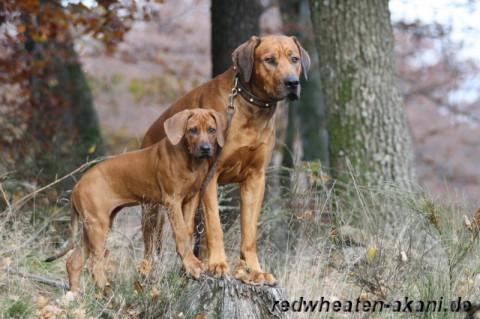 Rhodesian Ridgeback Akani und Jalia