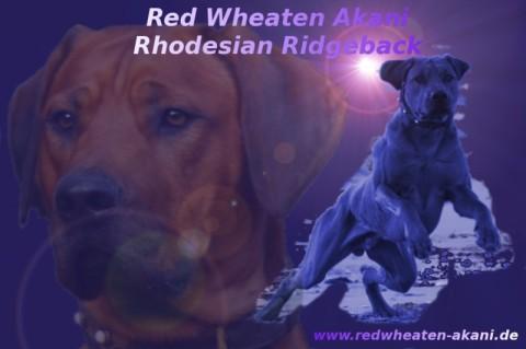 Rhodesian Ridgeback Red Wheaten Akani