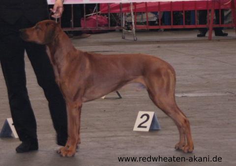 Red Wheaten Akani bei der Flanders Dog Show in Gent