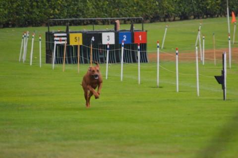 Jalia beim Coursing