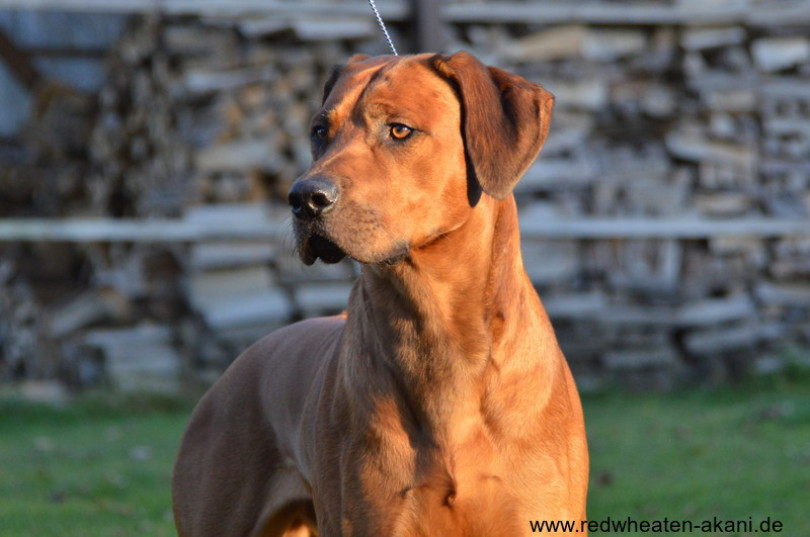 Worldwinner Multi Champion Red Wheaten Akani Rhodesian Ridgeback