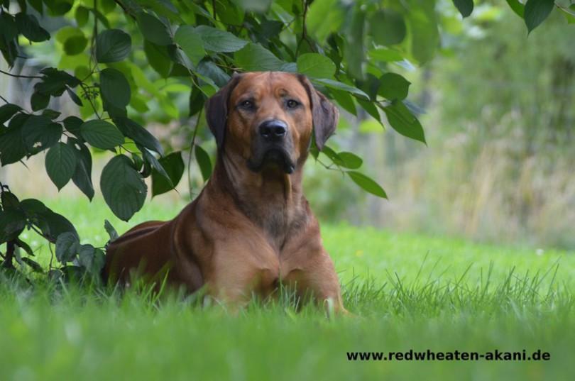 Weltsieger Rhodesian Ridgeback Rüde im Garten