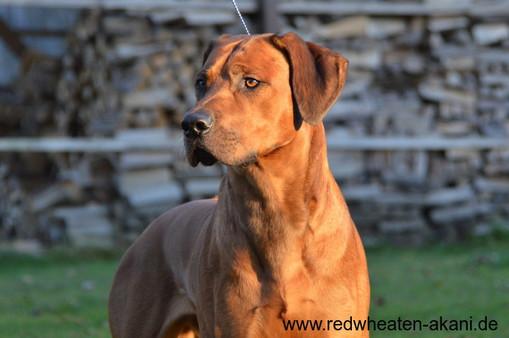 WW´12 Ch. Red Wheaten Akani Rhodesian Ridgeback Rüde
