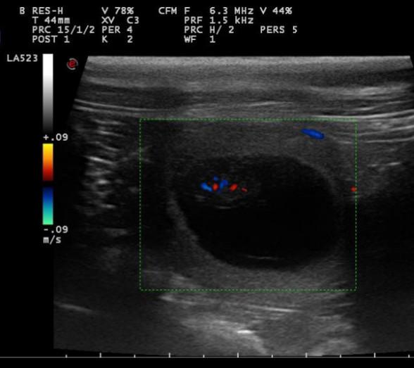 RHodesian Ridgeback Hündin Ultraschall in der Schwangerschaft