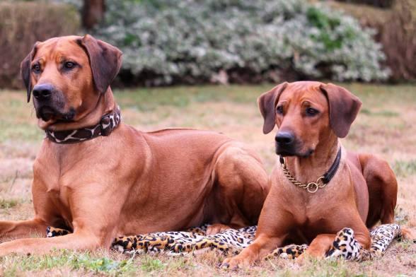 Rhodesian Ridgeback Bild von Akani und Mona