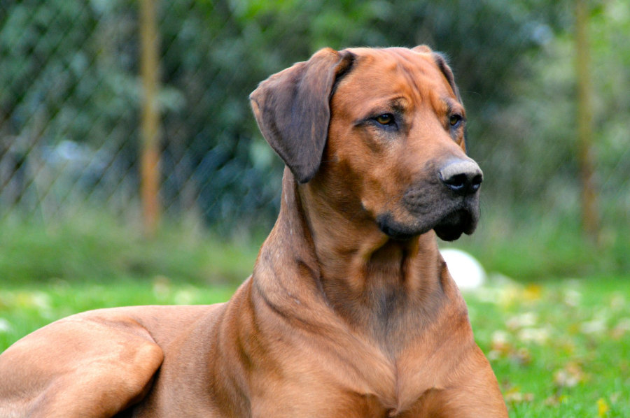 Picture Of African Ridgeback Dog