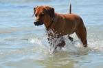 Rhodesian Ridgeback im Wasser